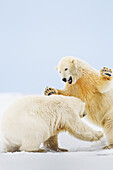 'Two polar bears (ursus maritimus) play fight in the snow on a barrier island in the Arctic National Wildlife Refuge; Alaska, United States of America'