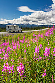 Truck and recreational vehicle travel along the Glenn Highway with Fireweed in the foreground, Southcentral Alaska.