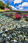 Underwater view of Red salmon spawning phase in a small stream in the Alaska Range, Southcentral Alaska