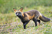 Cross fox (red fox), Denali National Park, Interior Alaska