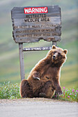 Grizzly bear scratches a roadside sign in Sable Pass, Denali National Park, Interior Alaska