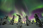 Aurora borealis over snow covered spruce trees, Interior Alaska.
