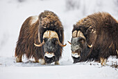 Two bull muskox on the snow covered tundra of the arctic north slope, Alaska