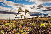 Wind flower on tundra, Brooks range, National Petroleum Reserve, Alaska.