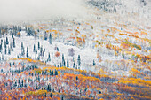 Early snowfall in the boreal forest in the hills surrounding Fairbanks, Interior Alaska.