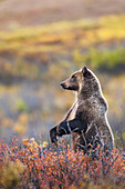 Grizzly bear stands up on its hind legs on the autumn colored tundra in Sable pass in Denali National Park, Interior Alaska
