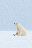 Polar bear cub sits in the snow watching snowflakes fall, arctic, Alaska