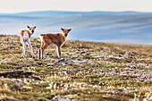 Newborn caribou calves of the Western arctic caribou herd, Utukok uplands, National Petroleum Reserve Alaska, Arctic, Alaska.