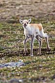 Newborn caribou calf of the Western arctic caribou herd, Utukok uplands, National Petroleum Reserve Alaska, Arctic, Alaska.