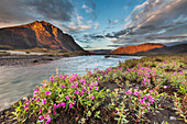 Midnight sunset over dwarf fireweed along the Marsh Fork of the Canning river in the Arctic National Wildlife Refuge in the Brooks range mountains, Alaska.