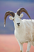 Dall sheep ram portrait, Denali National Park, interior, Alaska.