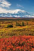 Mt McKinley (Denali), North America's tallest peak (20,320 ft), dwarf birch, autumn tundra, Denali National Park, interior, Alaska.