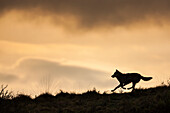 Silhouette of a gray wolf running across a mountain ridge in Denali National Park, Alaska.
