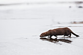 Mink travels the thin icy surface of a stream during freeze up in Alaska's interior.