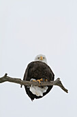A mature Bald Eagle sits on a limb and looks down at camera in the Portage area of Alaska. Winter. Southcentral Alaska.