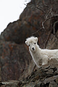 An inquisitive Dall sheep lamb looks down from the rocks in the Chugach Mountains at the camera. Southcentral Alaska.