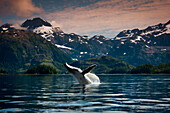 COMPOSITE Breaching Humpback whale in Prince William Sound, Southcentral Alaska, Summer