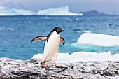 'Adelie penguin (Pygoscelis adeliae) and icebergs in Shingle Cove, Coronation Island; South Orkney Islands, Antarctica'