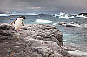 'Adelie penguin (Pygoscelis adeliae) on a rock along the coast in Shingle Cove, Coronation Island; South Orkney Islands, Antarctica'