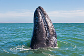'Gray Whale (eschrichtius robustus) spyhopping off the baja peninsula in the pacific ocean; Mexico'