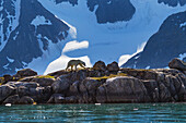 'Polar bear (ursus maritimus) walks along the shores of Svalbard in the summer in search of food; Svalbard, Norway'