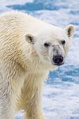 'Polar bear (ursus maritimus) on the pack ice in the Svalbard archipelago; Svalbard, Norway'