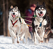 Brennan Norden's lead dogs during the Ceremonial Start of the 2011 Iditarod, Anchorage, Alaska