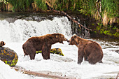 Two Grizzly bears having a dispute over fishing rights at Brooks Falls in Katmai National Park & Preserve, Southwest Alaska, Summer