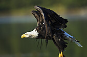 Bald Eagle (Haliaeetus leucocephalus) takes flight along salmon spawning stream, Southwest Alaska
