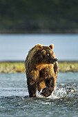 Coastal Brown Bear (Ursus arctos) walking through salmon spawning stream by Kukak Bay, Katmai National Park, Southwest Alaska