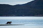 Coastal Brown Bear (Ursus arctos) runs along shore while chasing salmon along Kukak Bay, Katmai National Park, Southwest Alaska