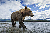 Wide angle view of Coastal Brown Bear (Ursus arctos) walking along salmon spawning stream along Kukak Bay, Katmai National Park, Southwest Alaska