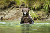 Coastal Brown Bear (Ursus arctos) standing upright in salmon spawning stream along Kuliak Bay, Katmai National Park, Southwest Alaska