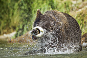 Coastal Brown Bear (Ursus arctos) violently shakes Pink Salmon while fishing in spawning stream along Kuliak Bay, Katmai National Park, Southwest Alaska