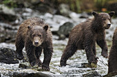 Two Coastal Brown Bear spring cubs (Ursus arctos) walking in salmon spawning stream along Kuliak Bay, Katmai National Park, Southwest Alaska