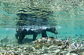 Underwater view of Coastal Brown Bear (Ursus arctos) wading in salmon spawning stream near Kinak Bay, Katmai National Park, Southwest Alaska