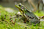 'Side view of alert green frog; Vaudreuil, Quebec, Canada'