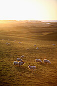 'Sun setting and grazing sheep in the countryside just East of Port Stewart; County Londonderry, Ireland'