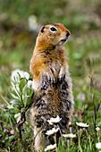 Close up of Artic ground squirrel standing at alert in wild flowers, Highway Pass, Denali National Park, Summer, Interior Alaska, USA.