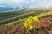 View of yellow Alpine Arnica on a steep slope with Polychrome Pass in the background at sunrise, Denali National Park, Summer, Interior Alaska, USA.