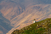 View of a Dall Sheep Ram sitting on a steep slope at sunrise on Polychrome Pass, Denali National Park, Summer, Interior Alaska, USA.