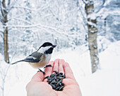 'Hand feeding a black-capped chickadee sunflower seeds; Ontario, Canada'