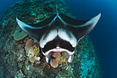 'A manta ray (Manta alfredi) gets close to the reef to be inspected by small cleaner wrasse on Manta Reef; Island of Kandavu, Fiji'