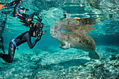 'A photographer lines up on an endangered Florida Manatee (Trichechus manatus latirostris) at Three Sisters Spring; Crystal River, Florida, United States of America'