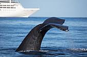 'A humpback whale (Megaptera novaeangliae) lifts it's fluke in front of a large cruise ship off the island of Maui; Maui, Hawaii, United States of America'