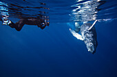 'A diving photographer lines up on a young humpback whale (Megaptera novaeangliae); Hawaii, United States of America'