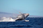 'Breaching humpback whale (Megaptera novaeangliae); Hawaii, United States of America'