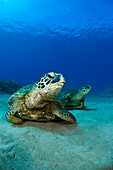 Hawaii, West Maui, Pair of Green Sea Turtles (Chelonia Mydas) on the ocean floor.