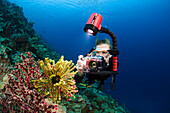 Indonesia, Diver photographing colorful soft reef.