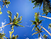 [DC] Hawaii, Maui, A view from below of palm trees against a vivid blue sky